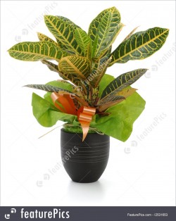 Calathea Plants with pot
